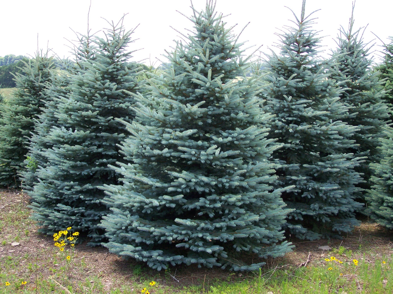Colorado Blue Spruce 39
